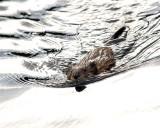 Muskrat in Otter Creek.jpg
