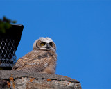 Great Horned Owl Fledgling on a Chimney at Mammoth Headquarters.jpg