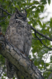 Great Horned Owl.jpg