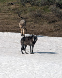 Canyon Pack Alpha Male and Female Near Alum Creek.jpg