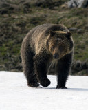 Grizzly at Obsidian Creek Vertical.jpg