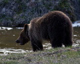Grizzly Bear on the Bank of Obsidian Creek.jpg