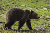 Grizzly Bear Walking.jpg