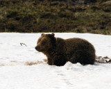 Grizzly at Obsidian Lying in the Snow.jpg