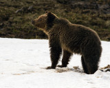 Grizzly Bear at Obsidian in the Snow.jpg