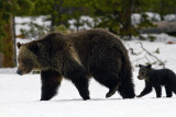 Cub of the Year Tagging Along at Lake Lodge.jpg