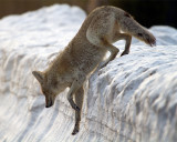 Coyote Climbing Down the Snowbank.jpg