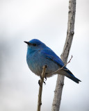 Mountain Bluebird on a Branch.jpg