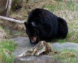 Black Bear Washing Near Tower.jpg