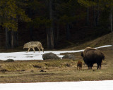 Bison Mom and Calf Watching the Grey Wolf Go By.jpg