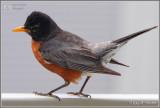 Mr. Robin