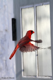 Cardinal Seeing a Competitor (part 1): Hey! Another male in sight