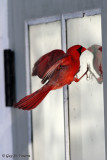 Cardinal Seeing a Competitor (part 2): Let's show this guy who's the boss!