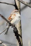 American Tree Sparrow