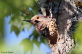 Northern Flicker Nesting
