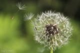 Windy Dandelion