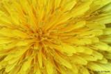 Sunny Dandelion