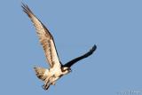 Osprey's take-off