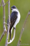 Eastern Kingbird I