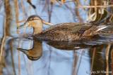 Black Duck Female Reflection