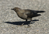 Brewer´s Blackbird