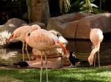 Flamingos at the Flamingo Hilton