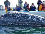 Baja Gray Whales 2011