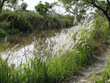Path through the rice field