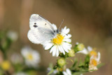 Dainty Sulphur - White form