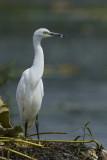 Little White Egret