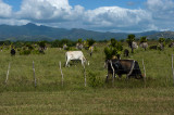 Longhorn cattle - always with a white egret nearby in a symbiotic relationship