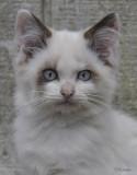 ChokoLatte Kitten