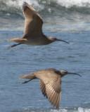 Bird Pair Flying