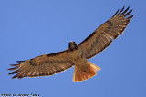 Red Tail Hawk (Buteo jamaicensis) (3864)