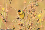 American Goldfinch (Carduelis tristis) (5080)