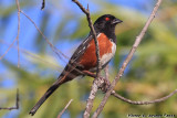 Spotted Towhee (Pipilo maculatus) (5608)