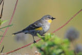 Yellow-rumped Warbler (Dendroica coronata) (2689)