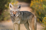Coyote (Canis latrans) (1819)