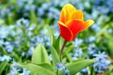 Tulipa Kaufmanniana, Chicago Botanical Garden