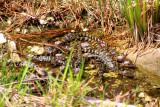 Baby Alligator, Everglades National Park, Shark Valley, Florida