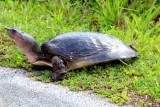 Soft-shell Turtle, Everglades National Park, Shark Valley, Florida