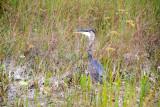 Blue Heron, Everglades National Park, Shark Valley, Florida