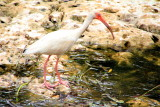 White Ibis, Everglades National Park, Shark Valley, Florida