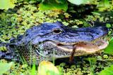 Alligator feeding on snake, Everglades National Park, Shark Valley, Florida