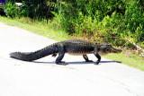 Alligator, Everglades National Park, Shark Valley, Florida