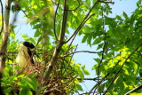 Endangered Black-crowned night herons nesting, Lincoln Park, Chicago