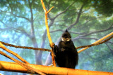 Francois' Langur, Lincoln Park Zoo, Chocago