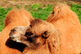 Camel, Lincoln Park Zoo, Chicago
