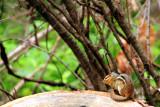 Squirrel, Chain O' Lakes State Park, IL