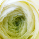 Chicago Botanic Garden - White Rose macro